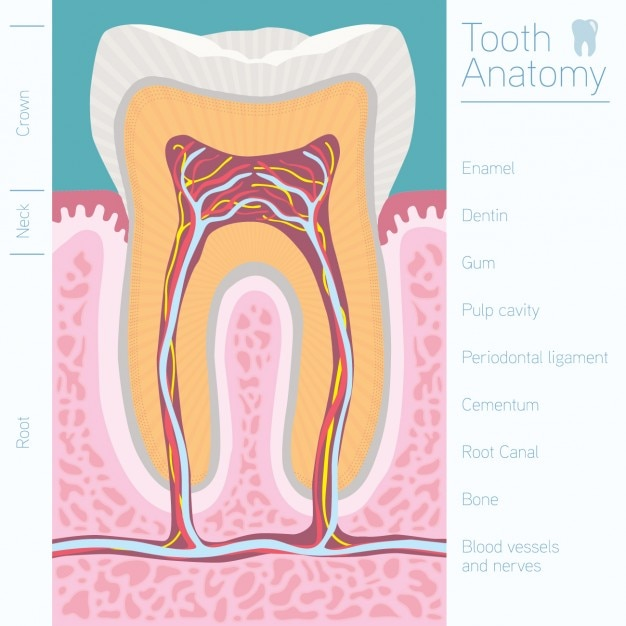 Tooth anatomy design Vector | Free Download