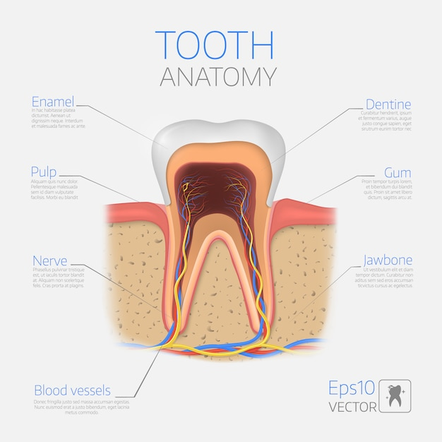 Tooth structure. Premium Vector