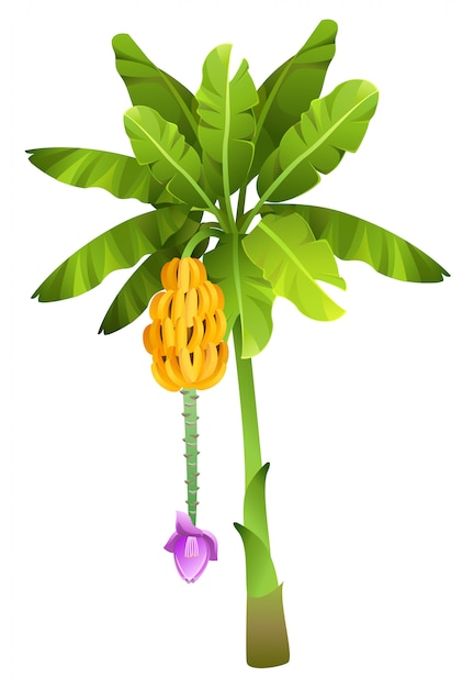 Tropical jungle banana tree with fruits isolated Premium Vector