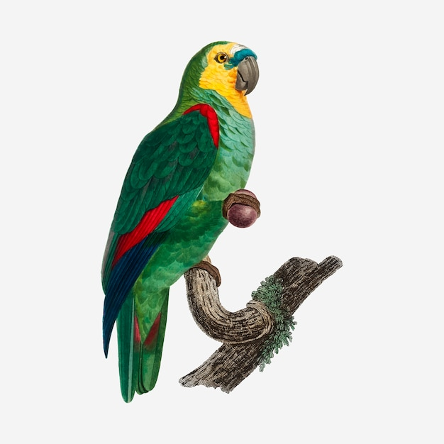 Turquoise-fronted parrot Free Vector