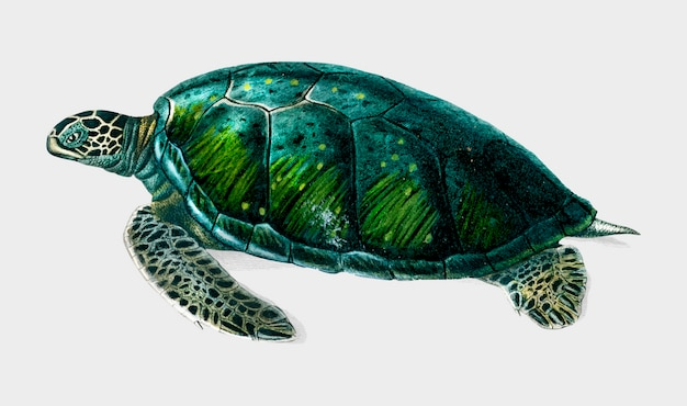 Turtle Free Vector