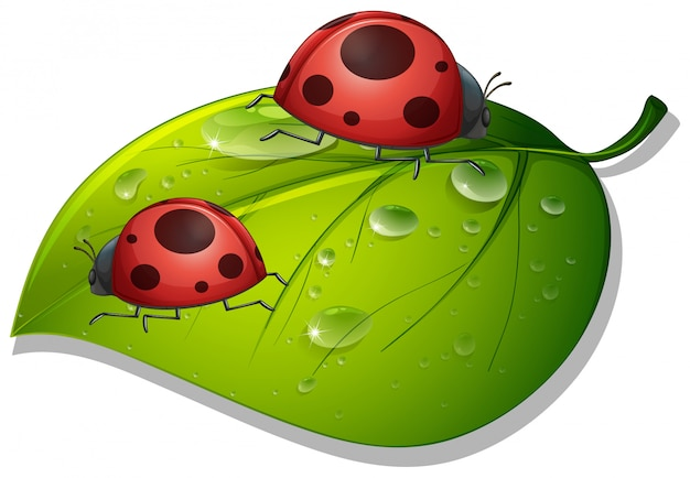 Two ladybugs on green leaf on white Free Vector