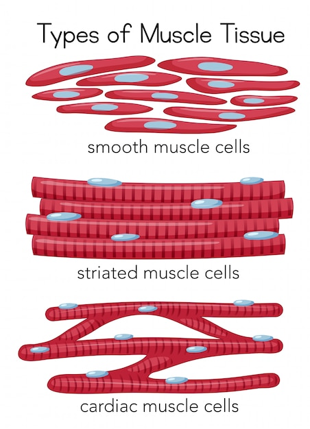Types of Muscle Tissue Vector | Premium Download