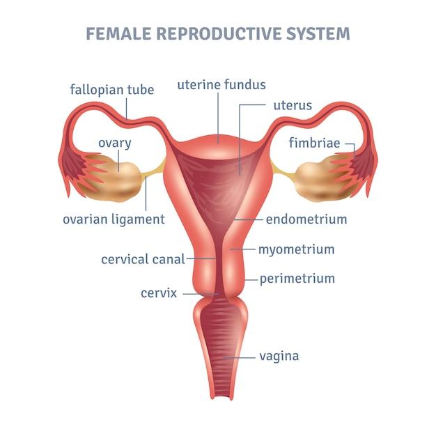 Uterus poster Free Vector