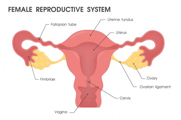 Uterus. vector study the structure of the uterus. Premium Vector