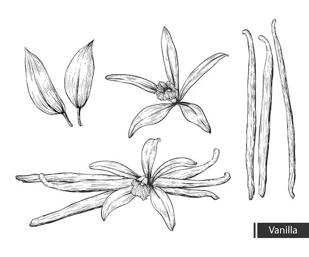 Ванильный цветок Premium векторы