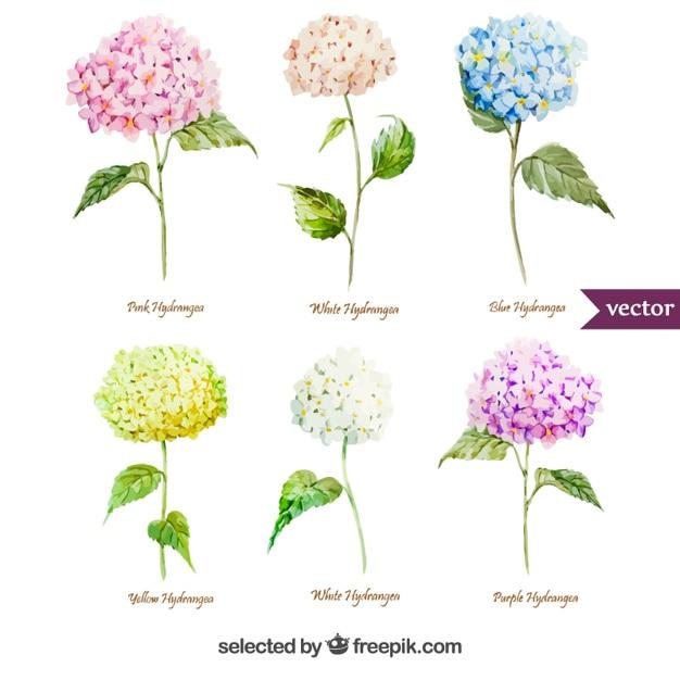 Varietà di fiori di ortensia acquerello Vettore gratuito
