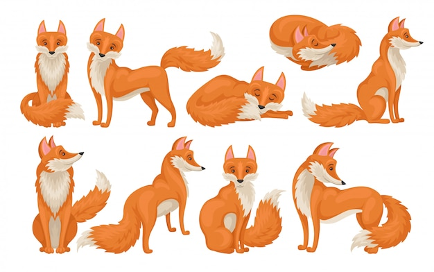 Vectoe set of bright red fox in different actions. wild creature with fluffy tail. cartoon forest animal Premium Vector