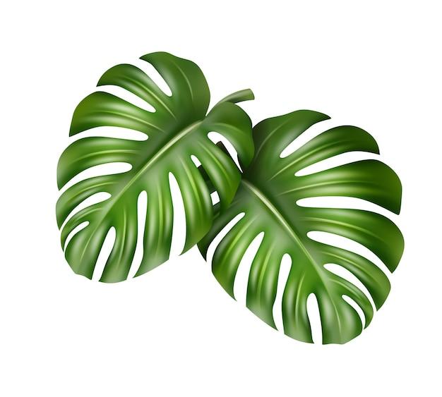 白い背景で隔離の熱帯モンステラ植物のベクトル大きな緑の葉 無料ベクター