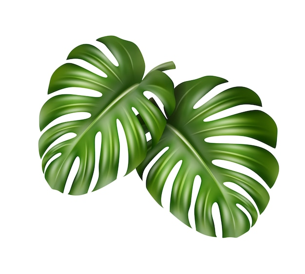 Vector big green leaves of tropical monstera plant isolated on white background Free Vector
