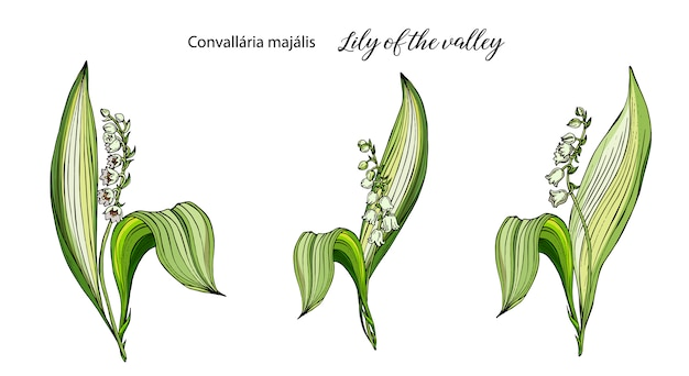 Vector color floral lily of the valley flowers set. Premium Vector