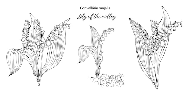 Vector floral black and white compositions with lily of the valley flowers. Premium Vector