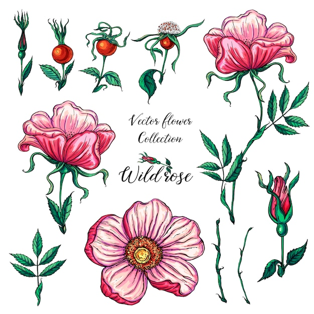 Vector floral set of wild rose flowers Premium Vector