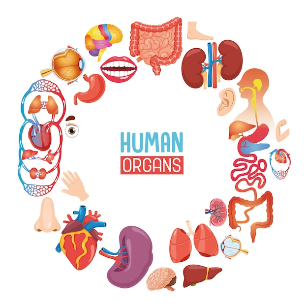 Vector illustration of human organs Premium Vector