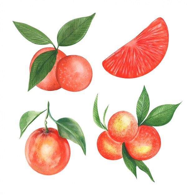 Vector illustration of mandarin fruit in watercolor style Premium Vector