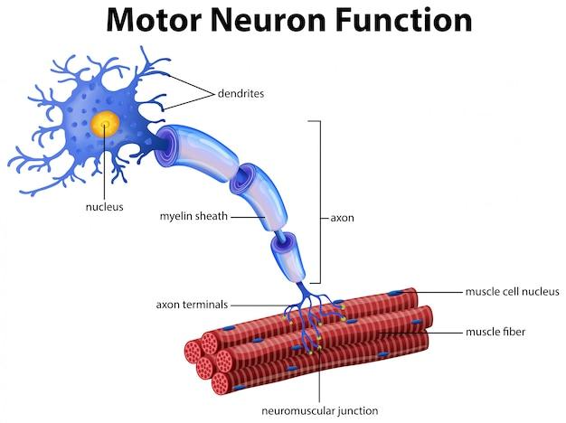 A vector of motor neuron function Premium Vector
