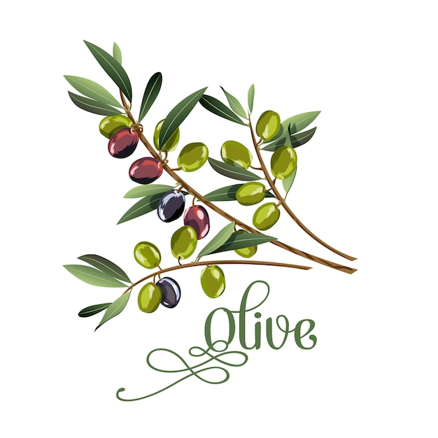 Vector realistic illustration of black and green olives branch Premium Vector
