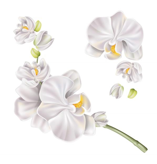 ベクトル現実的な白い蘭の花セット Premiumベクター