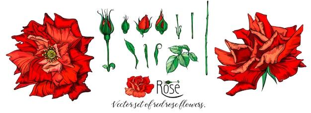 Vector set of red rose flowers. Premium Vector
