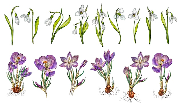 Vector set of snowdrop and crocus colors Premium Vector