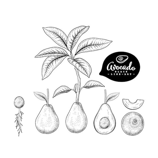 Векторный рисунок авокадо декоративный набор. рисованной ботанические иллюстрации Premium векторы