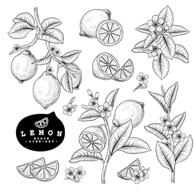 Vector sketch citrus fruit decorative set. lemon. hand drawn botanical illustrations. Premium Vector