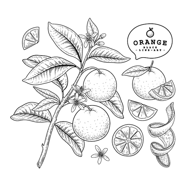 Vector sketch citrus fruit decorative set. orange. hand drawn botanical illustrations. black and white with line art isolated on white backgrounds. fruits drawings. retro style elements. Premium Vector