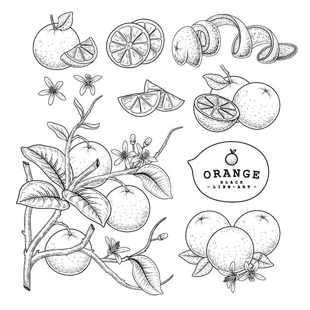 Вектор эскиз цитрусовых декоративный набор. апельсин. рисованной ботанические иллюстрации. Premium векторы
