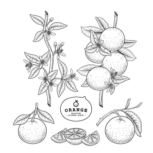 Vector sketch citrus fruit decorative set. Free Vector