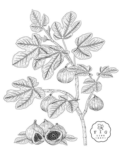 Векторный рисунок фруктовый декоративный набор. рис. рисованные ботанические иллюстрации. Premium векторы