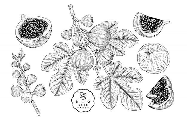 Векторный рисунок фрукты декоративный набор. рис. рисованные ботанические иллюстрации. Premium векторы