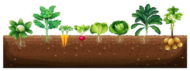 Premium Vector | Vegetables growing from underground ...