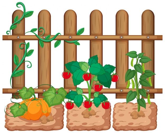 白い背景の上の庭で育つ野菜 無料ベクター