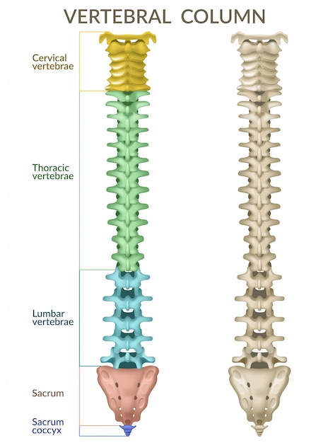 Colonna vertebrale. Vettore gratuito