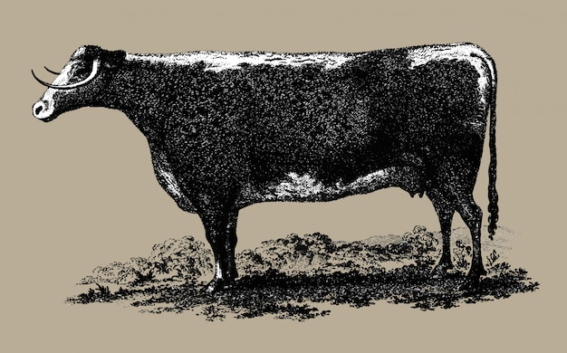 Vintage cow illustration Free Vector