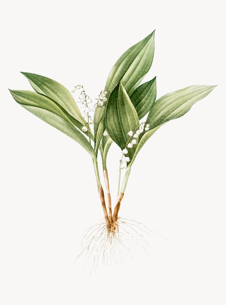 Vintage illustration of lily of the valley Free Vector