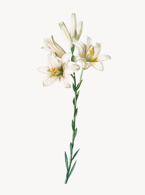 Vintage illustration of madonna lily Free Vector
