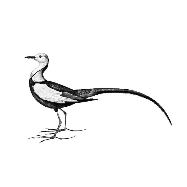 Vintage illustration of pheasant-tailed jacana Free Vector