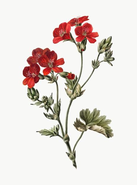 Vintage illustration of red flower Vector   Free Download
