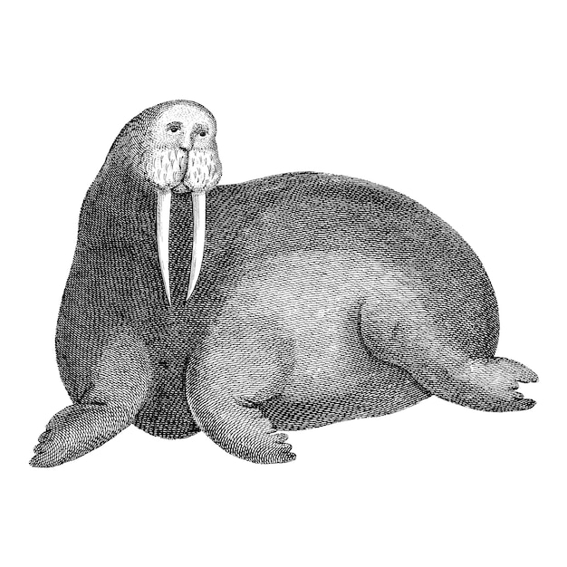 Vintage illustrations of arctic walrus Free Vector