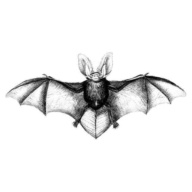 Vintage illustrations of bat Free Vector