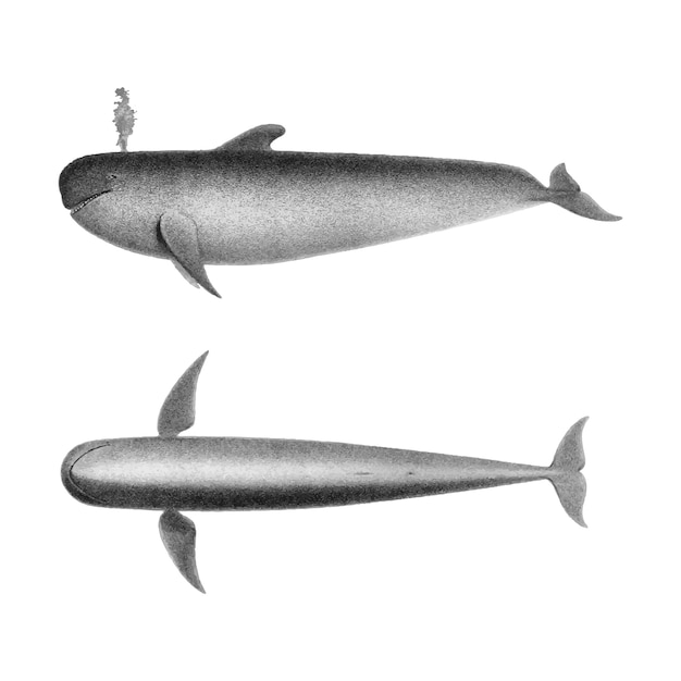 Vintage illustrations of the blackfish Free Vector