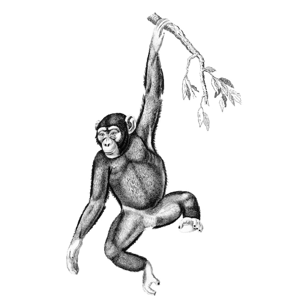 Vintage illustrations of chimpanzee Free Vector