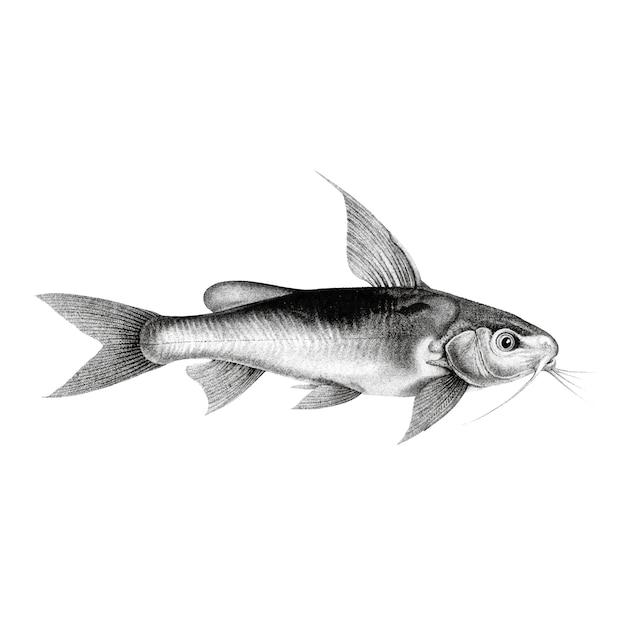 Vintage illustrations of chrysichthys auratus Free Vector