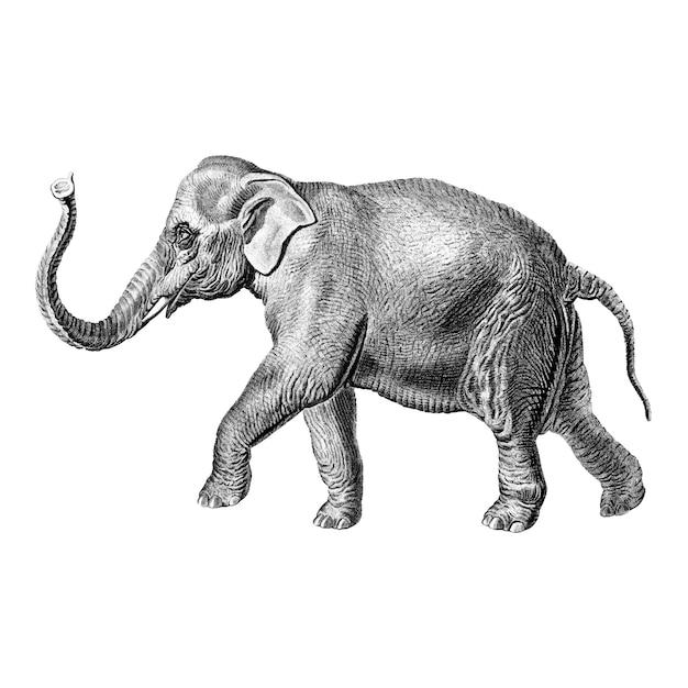 Vintage illustrations of elephant Free Vector