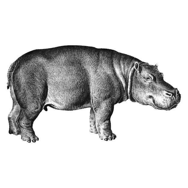 Illustrazioni d'epoca di ippopotamo Vettore gratuito