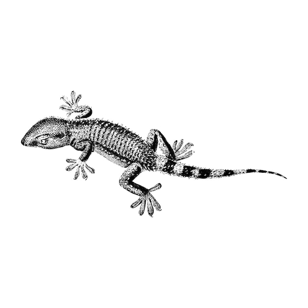 Vintage illustrations of lilford swall lizard Free Vector