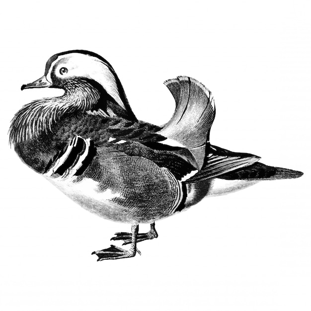 Vintage illustrations of mandarin duck Free Vector
