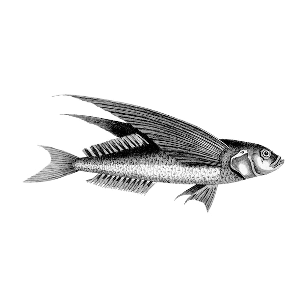 Illustrazioni d'epoca del pesce volante oceanico Vettore gratuito