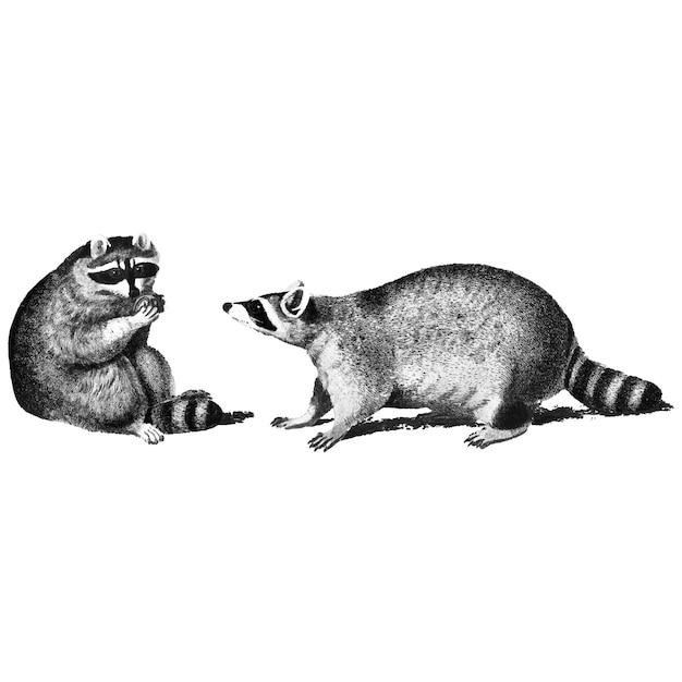 Винтажные иллюстрации енотов Бесплатные векторы